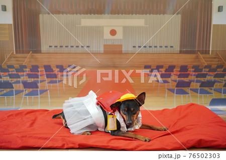 犬 ミニチュアピンシャー 入学式 1年生  ランドセル 写真 76502303