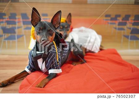 犬 ミニチュアピンシャー 入学式 1年生  ランドセル 写真 76502307