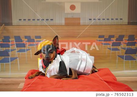 犬 ミニチュアピンシャー 入学式 1年生  ランドセル 写真 76502313