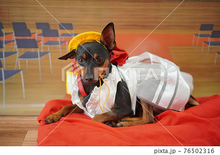 犬 ミニチュアピンシャー 入学式 1年生  ランドセル 写真 76502316