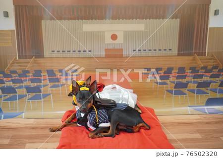 犬 ミニチュアピンシャー 入学式 1年生  ランドセル 写真 76502320