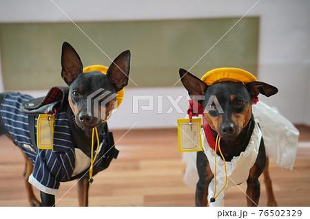 犬 ミニチュアピンシャー 入学式 1年生  ランドセル 写真 76502329