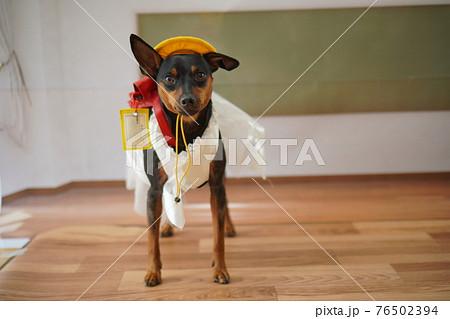 犬 ミニチュアピンシャー 入学式 1年生  ランドセル 写真 76502394
