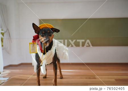 犬 ミニチュアピンシャー 入学式 1年生  ランドセル 写真 76502405
