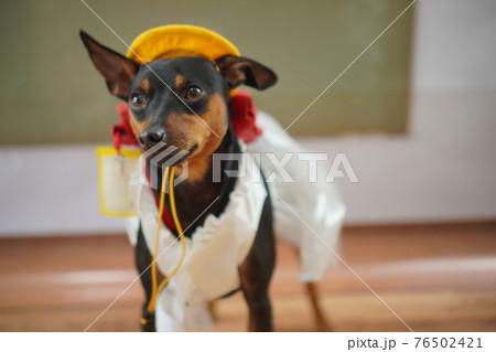 犬 ミニチュアピンシャー 入学式 1年生  ランドセル 写真 76502421
