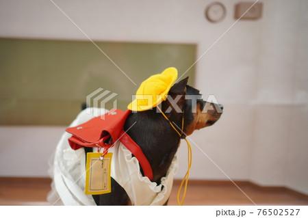 犬 ミニチュアピンシャー 入学式 1年生  ランドセル 写真 76502527