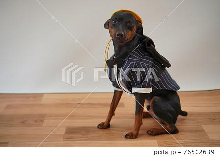 犬 ミニチュアピンシャー 入学式 1年生  ランドセル 写真 76502639