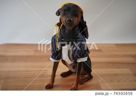 犬 ミニチュアピンシャー 入学式 1年生  ランドセル 写真 76502656