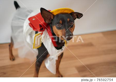 犬 ミニチュアピンシャー 入学式 1年生  ランドセル 写真 76502754