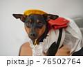 犬 ミニチュアピンシャー 入学式 1年生  ランドセル 写真 76502764