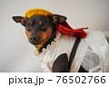 犬 ミニチュアピンシャー 入学式 1年生  ランドセル 写真 76502766