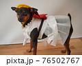 犬 ミニチュアピンシャー 入学式 1年生  ランドセル 写真 76502767