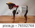 犬 ミニチュアピンシャー 入学式 1年生  ランドセル 写真 76502768