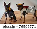 犬 ミニチュアピンシャー 入学式 1年生  ランドセル 写真 76502771