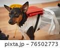 犬 ミニチュアピンシャー 入学式 1年生  ランドセル 写真 76502773
