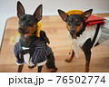 犬 ミニチュアピンシャー 入学式 1年生  ランドセル 写真 76502774