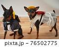 犬 ミニチュアピンシャー 入学式 1年生  ランドセル 写真 76502775