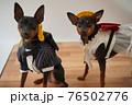 犬 ミニチュアピンシャー 入学式 1年生  ランドセル 写真 76502776
