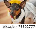 犬 ミニチュアピンシャー 入学式 1年生  ランドセル 写真 76502777