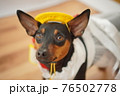 犬 ミニチュアピンシャー 入学式 1年生  ランドセル 写真 76502778