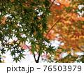 紅葉のグラデーション 76503979