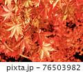 鮮やかにライトアップされた真っ赤なもみじ 76503982