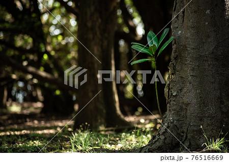 木陰で芽吹く新たな命 木の根から新たな芽が成長するⅠ 76516669