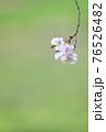 綺麗に儚く咲くヤエベニシダレ 76526482