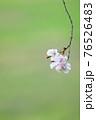 綺麗に儚く咲くヤエベニシダレ 76526483