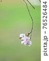 綺麗に儚く咲くヤエベニシダレ 76526484