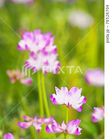 レンゲ畑  自然風景 百花蜜 76526704