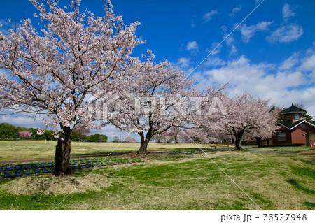 鳥見山公園の桜(福島県・鏡石町) 76527948