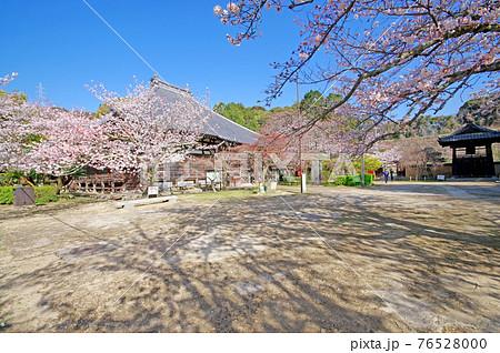 下関市の観光スポット功山寺の法堂と境内の桜 76528000