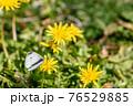 タンポポの蜜を吸うモンシロチョウ 76529885