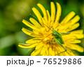 タンポポの花粉を食べるヤブキリ幼虫 4月 76529886