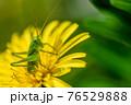 タンポポの花粉を食べるヤブキリ幼虫 4月 76529888