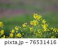夕陽が当たっている綺麗な黄色い菜の花の春らしい風景 76531416