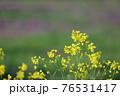 夕陽が当たっている綺麗な黄色い菜の花の春らしい風景 76531417