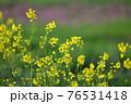 夕陽が当たっている綺麗な黄色い菜の花の春らしい風景 76531418