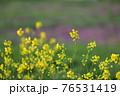 夕陽が当たっている綺麗な黄色い菜の花の春らしい風景 76531419