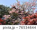 晩春の日差しを受けて咲き誇るハナミズキ 76534644