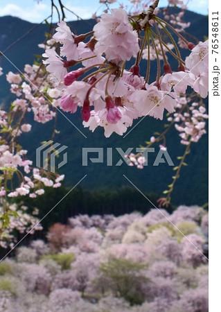 【奈良】高見の郷 千本のしだれ桜を見渡す桜 76548611