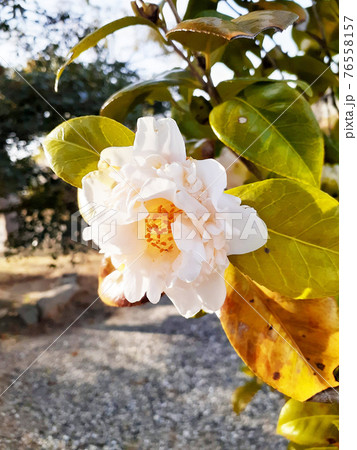 椿の園芸品種 雪燈篭(ゆきどうろう)唐子咲きアップ 76558157