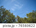 beautiful spring pine forest against the blue sky  76560622