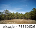 beautiful spring pine forest against the blue sky  76560626