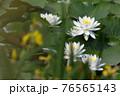 太陽の光で花びらが輝くように咲く水辺の睡蓮 76565143