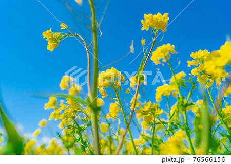 菜の花と青空 【長野県】 76566156
