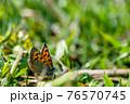 草の上で翅を休めるベニシジミ  76570745