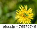 タンポポの花粉を食べるヤブキリ幼虫 4月 76570746