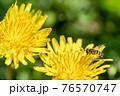 タンポポの花粉を食べるフタホシヒラタアブ 4月 76570747